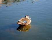 Sleeping duck